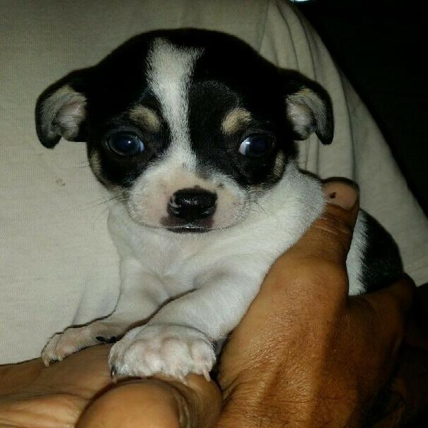 Chihuahua puppy male, registered & microchipped