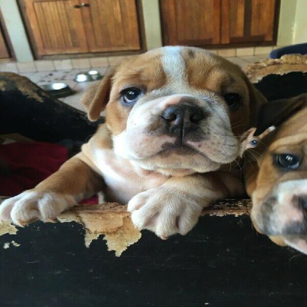 English bulldog puppy for sale!