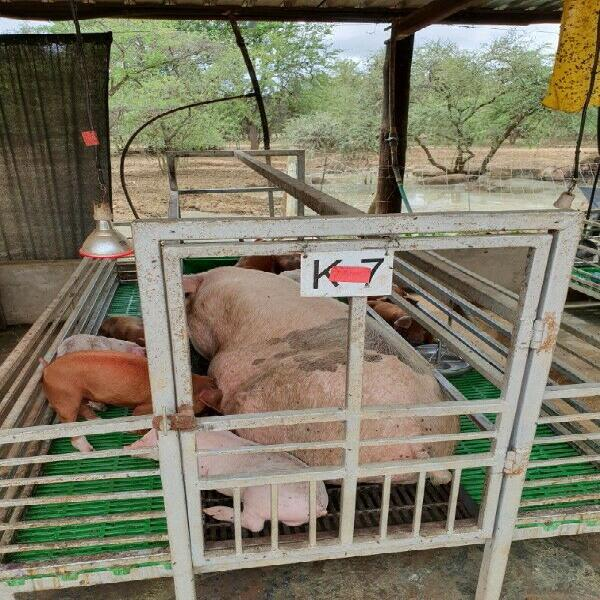Pigs and equipment