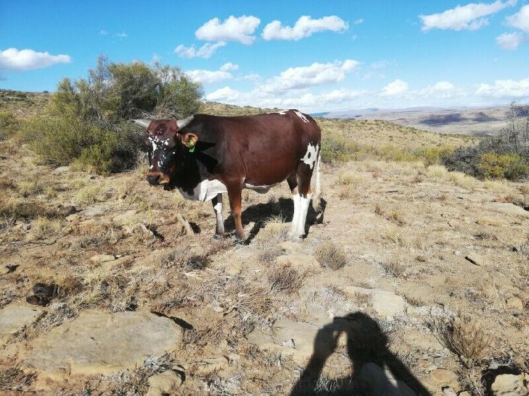 Boran x Nguni heifers for sale