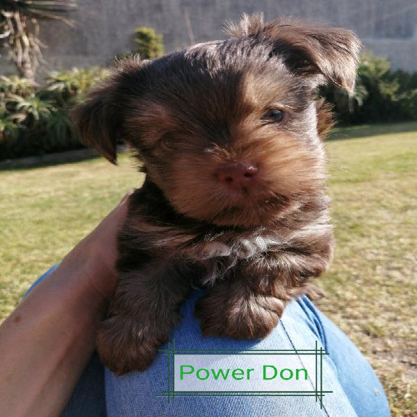 Miniature yorkie puppies for sale