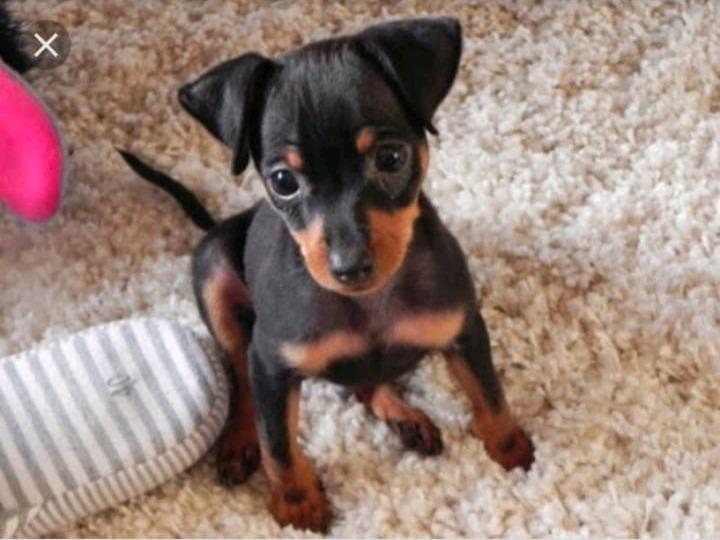 Wanted miniature doberman pinscher wanted