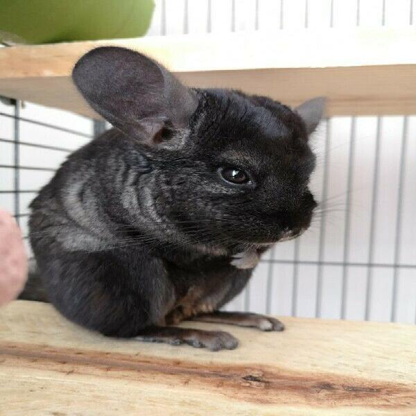 2 female chinchillas for sale