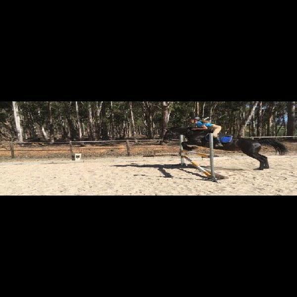 Boerperd mare