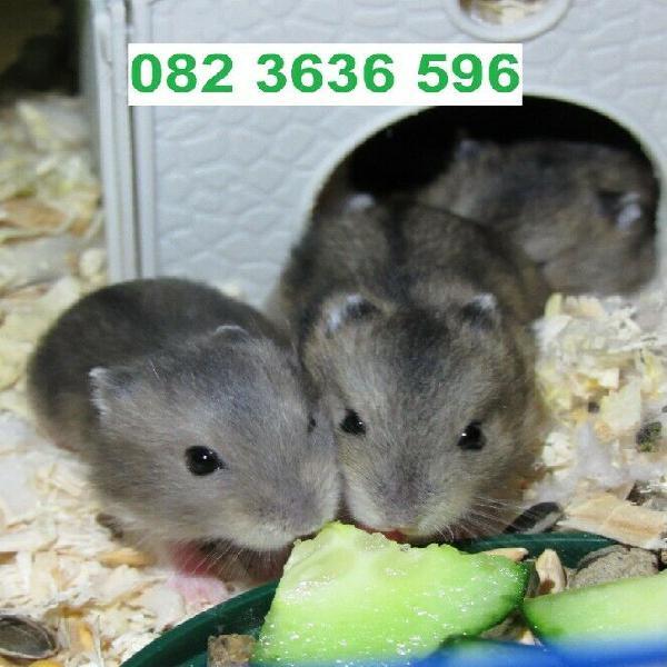 Dwarf hamster babies