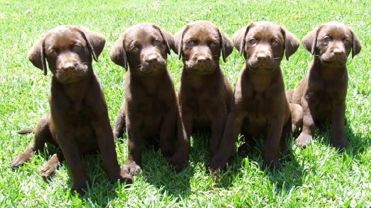 Registered chocolate labrador puppys