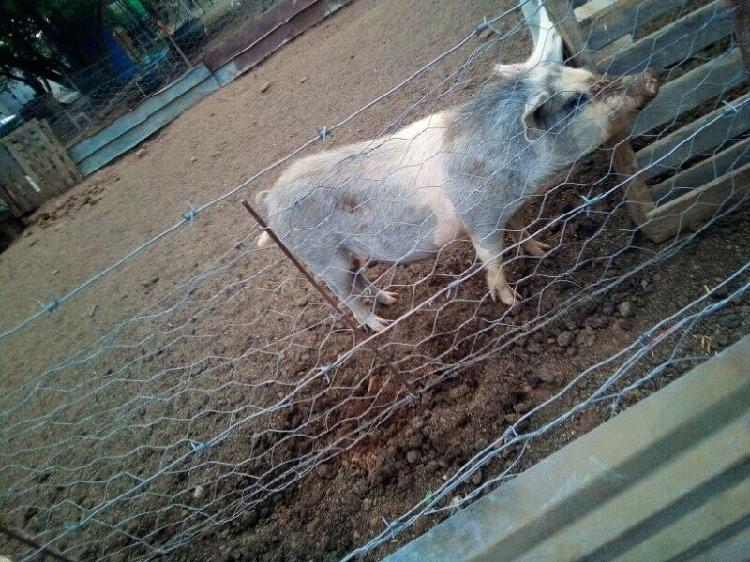 Two very good and fast growing pigs for sale in bloemfontein