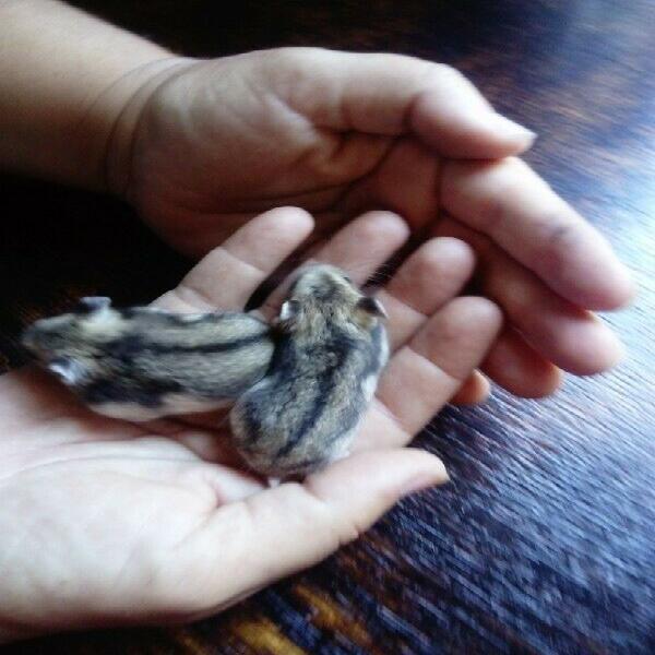 Hamsters. dwarf baby hamsters for r 40 each. uitenhage