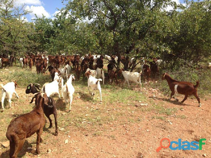 Buy boer goats/kalahari red goats online