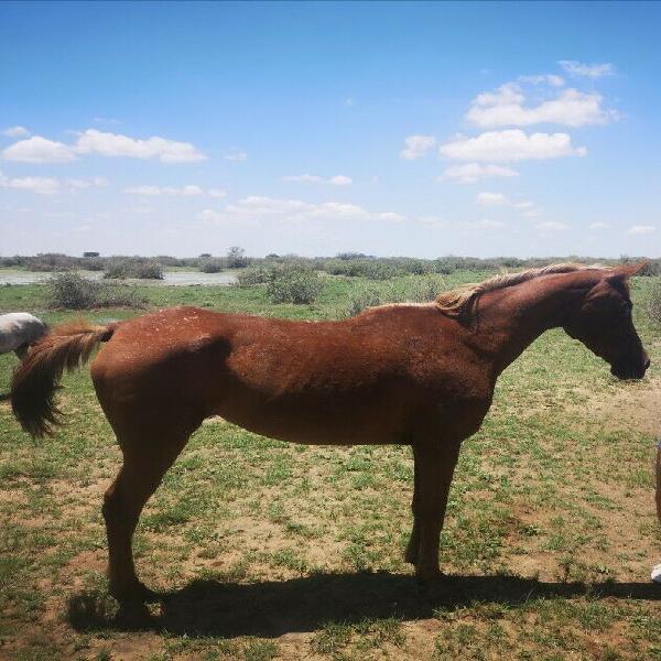 Arabian mare for sale