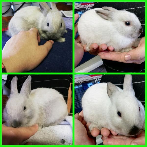 Dwarf siamees baby bunnies