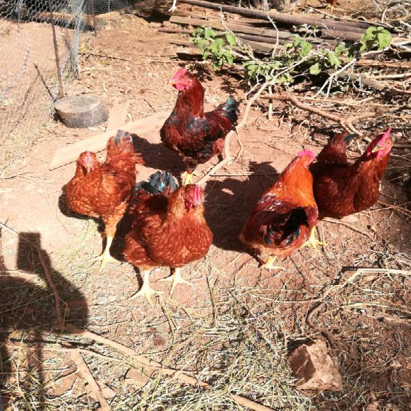 Lohman cross roosters