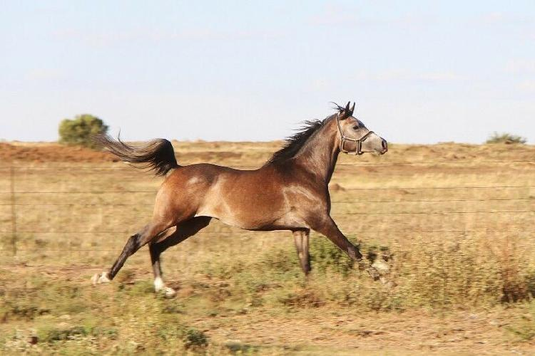 Arabier hings / arabian stallion - jasmyn elzar