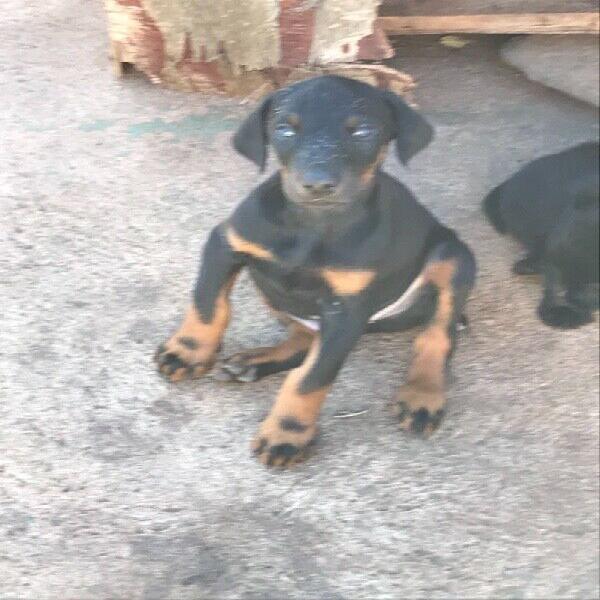 Purebred doberman puppies(large breed)