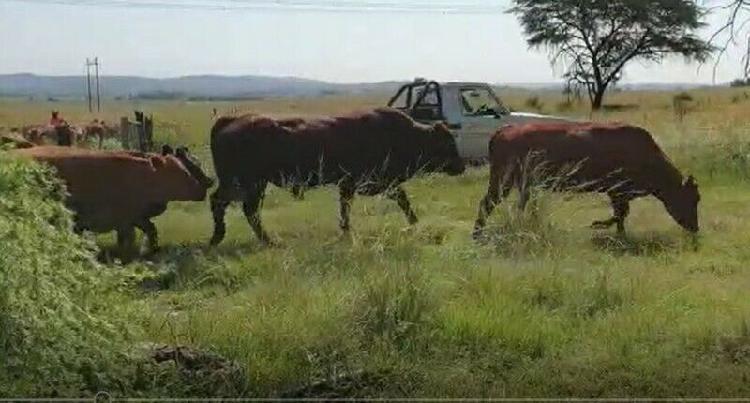 100 pregnant bonsmara heifers for sale!