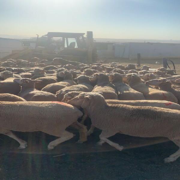 Big sheep available