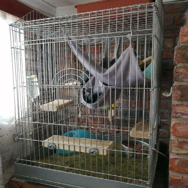 2 female chinchillas including cage for sale