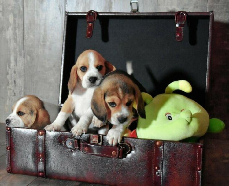 Kusa registered beagle puppies with champion bloodlines