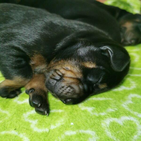 Large breed doberman puppies