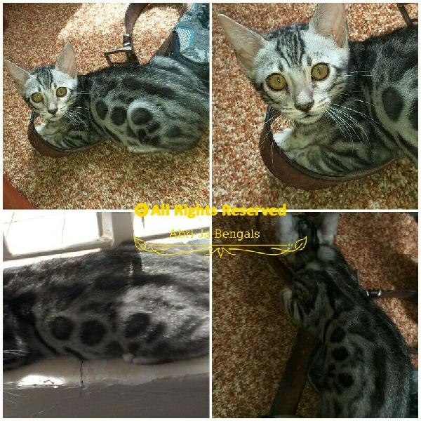 Pure bread black silver bengal kittens