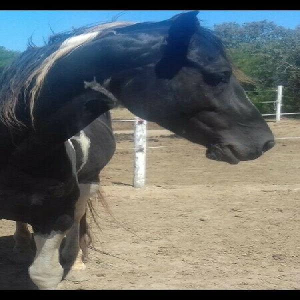 Paint Stallion for Sale