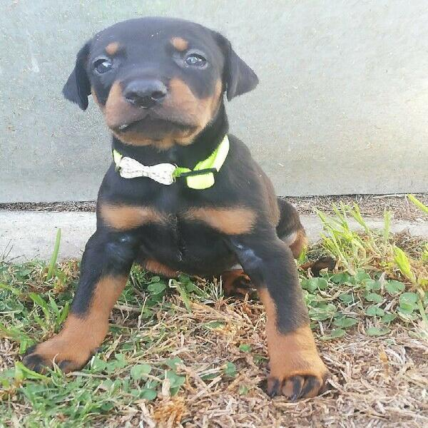 Large doberman pups
