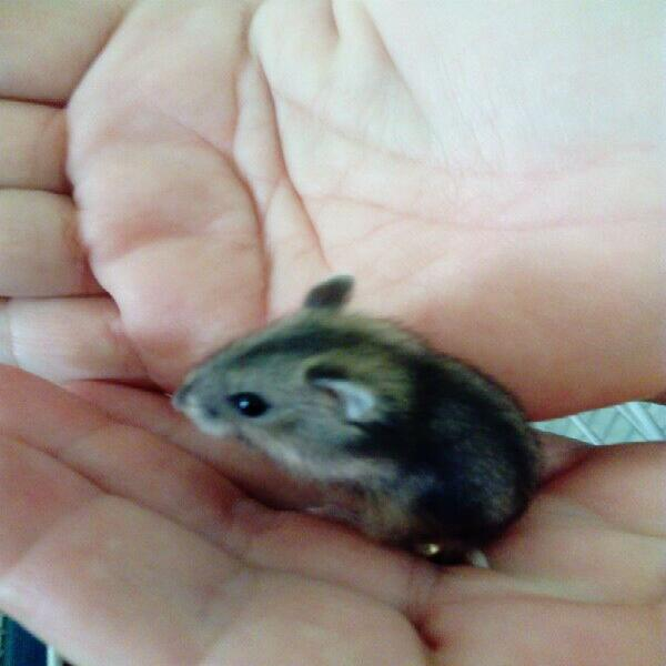Hamsters. baby dwarf hamsters for r 40 each. very beautiful