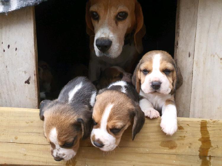 Kusa registered beagle tri-colour puppies
