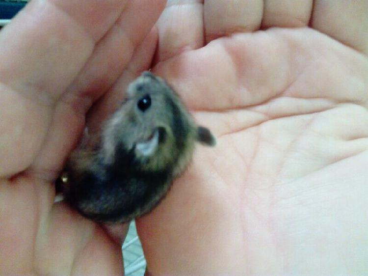 Hamsters. dwarf baby hamsters for r 40 each. very beautiful