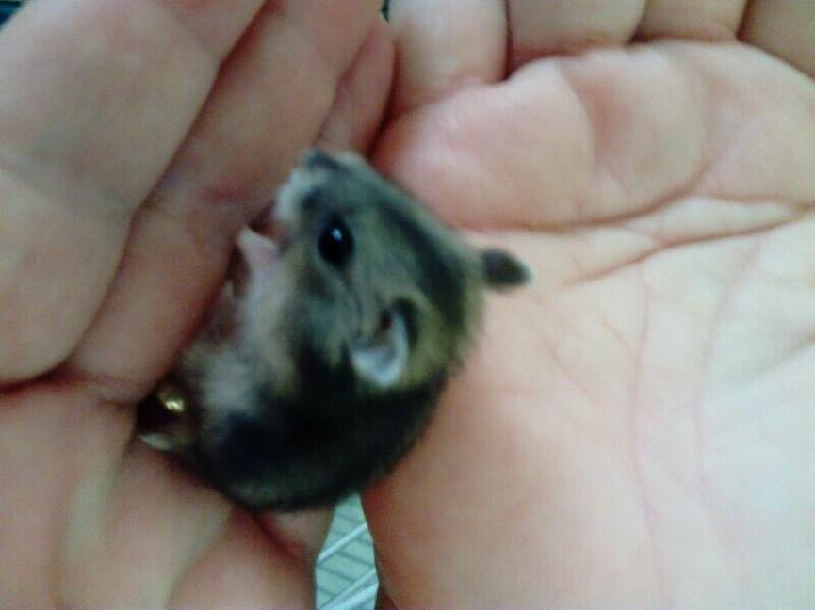 Hamsters. baby dwarf hamsters for r 40 each. very addorable