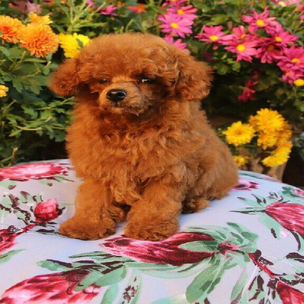 Stunning red toy french poodle puppy available