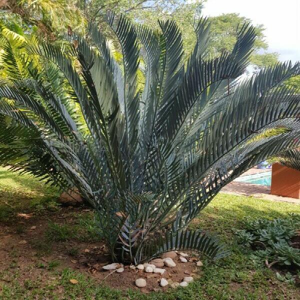 Cycad e. lehmannii for sale