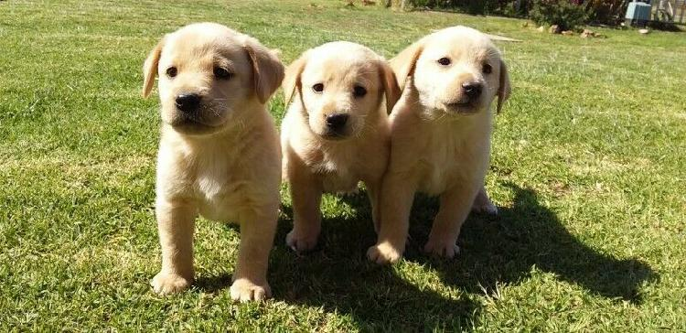 Male labrador puppies