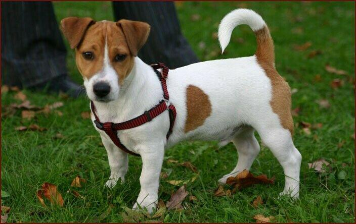 Vet checked & vaccinated jack russell puppy wanted