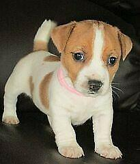 Wanted jack russel puppy