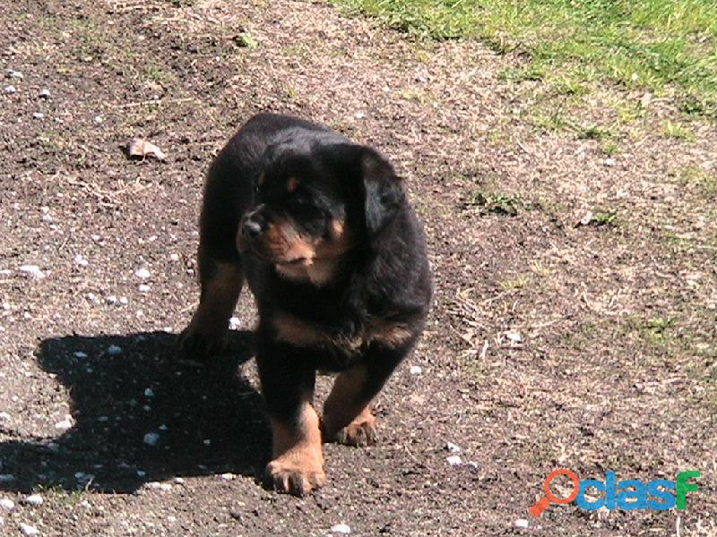 egistered Rottweiler pedigree pups