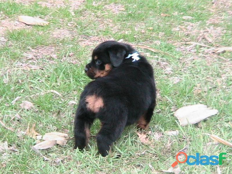 egistered Rottweiler pedigree pups 2