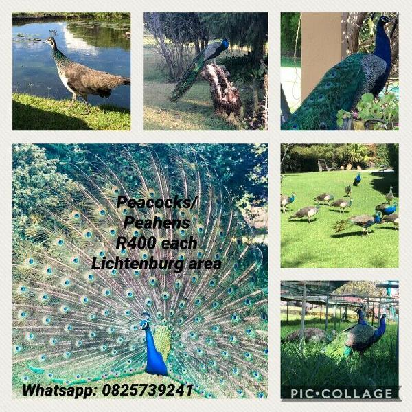 Peacocks/peahens for sale