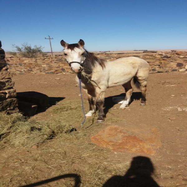 Buckskin boerperd colt