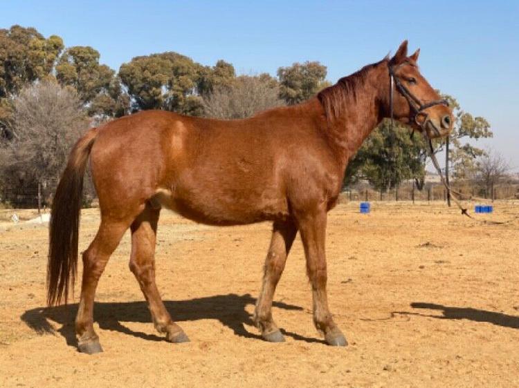 15.2/3 chestnut warmblood x basotho horse for sale