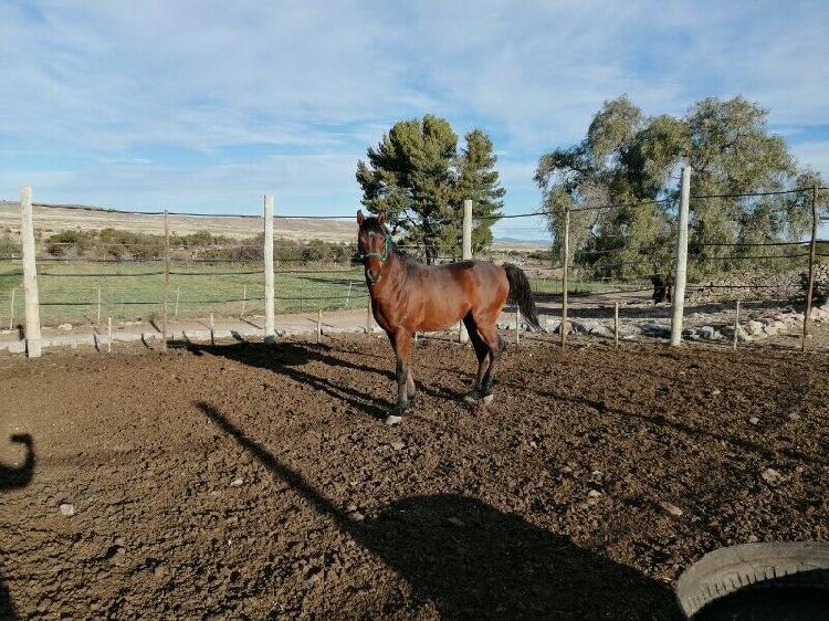Geobri arabian stud stallion