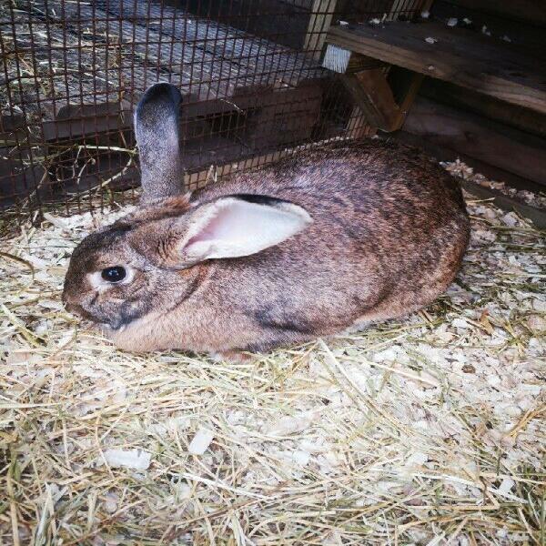 Flemish giant rabbit doe available