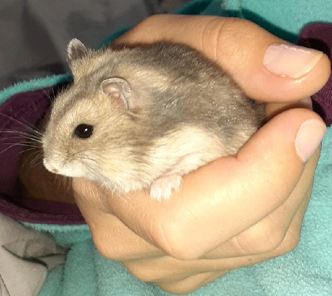 Grey dwarf hamster and cage - pending