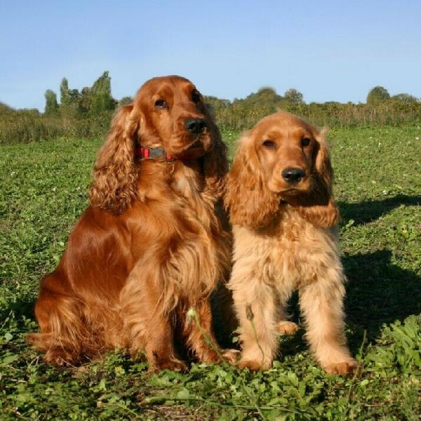 Wanted- golden cocker spaniel male puppy