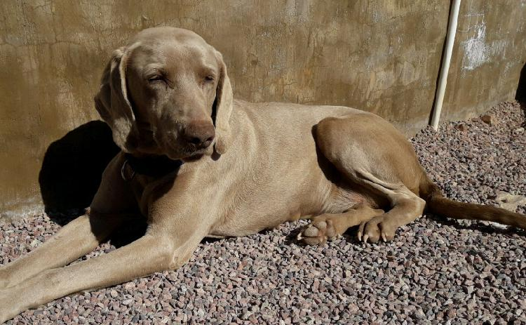 4 Adult weimaraners available to loving home