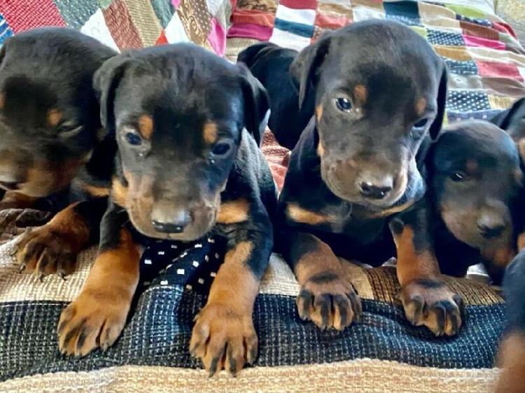 Doberman Pincher Large breed Puppies