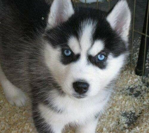 Looking for a Husky puppy