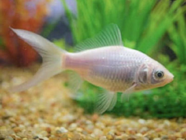 Comets or any common goldfish WANTED