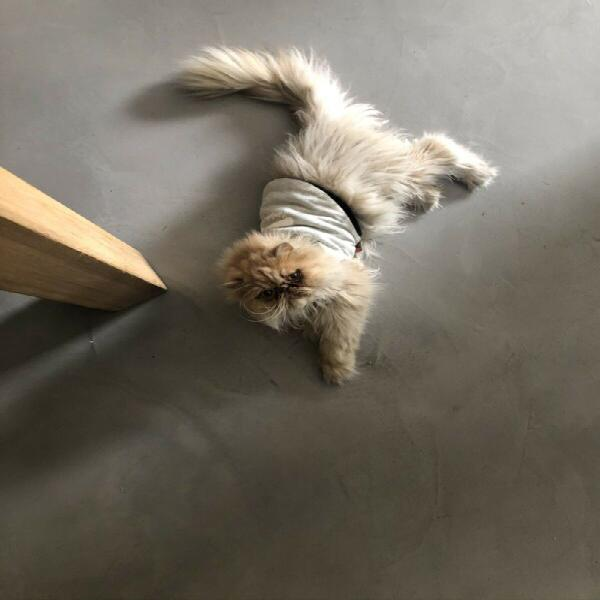 2 adults persian cats needs a home!