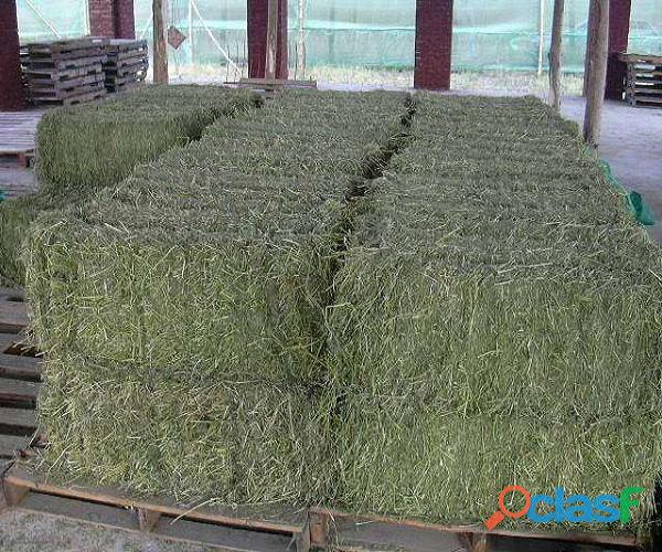 Top Quality American Alfalfa Hay Bales for Animal Feed 3